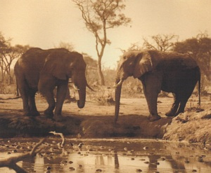 Elephants at a waterhole in Chobe, Botswana, 1986